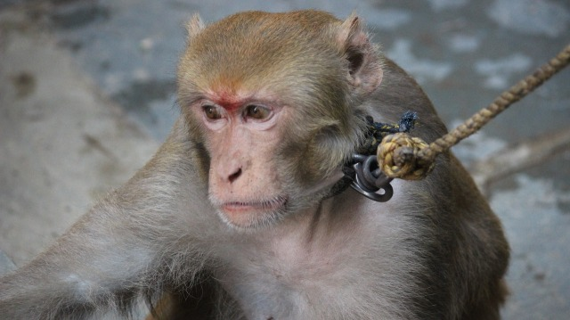 macaque-592560_1280.jpg